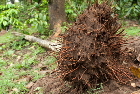An uprooted tree in a coffee plantation in a tropical forest
