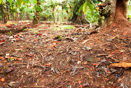 bark mulch: A forest floor in the tropics - this is shot in a coffee plantation in India
