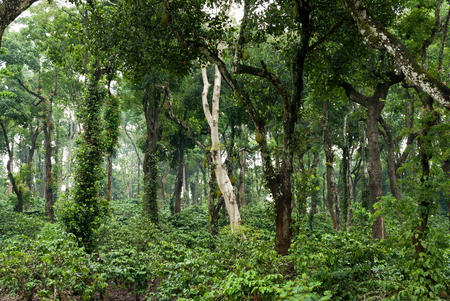 A coffee plantation in Coorg, India. Besides coffee, plantations grow pepper you can see the vines wrapped around on trees, cardamom, oranges and ginger