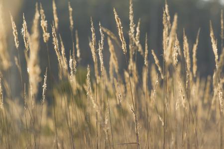 carex: Carex; blur background  Stock Photo