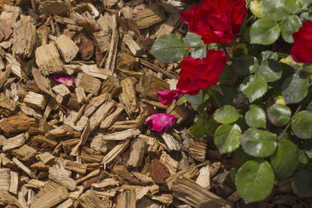 Mulch  pine bark  for bedding roses  concept of gardening photo
