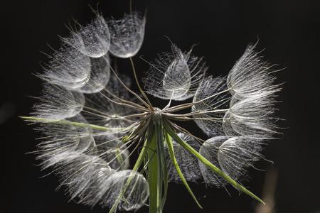 hieracium: plant of  Hieracium