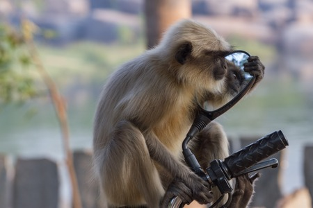 Long-tailed monkey gazing in the mirror of moped. Grey macaques.
