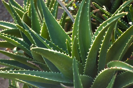 aloe vera plant: Green leaves of medicinal aloe vera plant