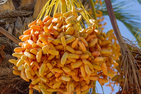 date palm: Cluster of  dates hanging on the date palm. Harvesting Stock Photo