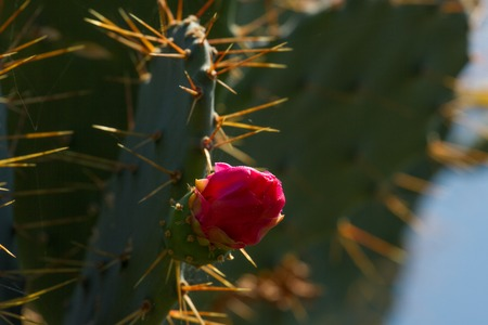 prickly flowers: Flowers and color fruits of prickly pear cactus (Opuncia vulgaris)