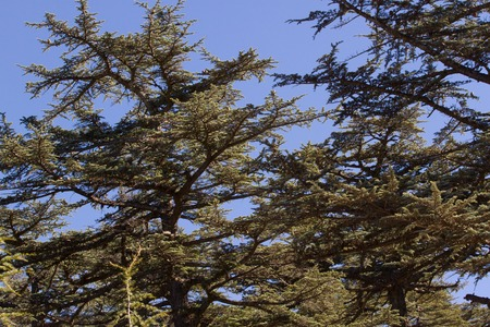 lebanese: Lebanese cedar pinecone in the forest in the mountains, Turkey