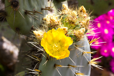 prickly flowers: Flowers of prickly pear cactus (Opuncia vulgaris) Stock Photo