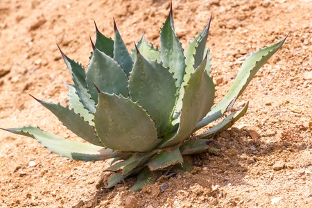 Macro photo agave leaves in the park in Spain. Lloret de Mar. Reklamní fotografie