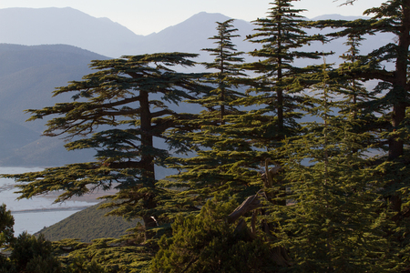 cedars: Lebanese cedar pinecone in the forest in the mountains, Turkey