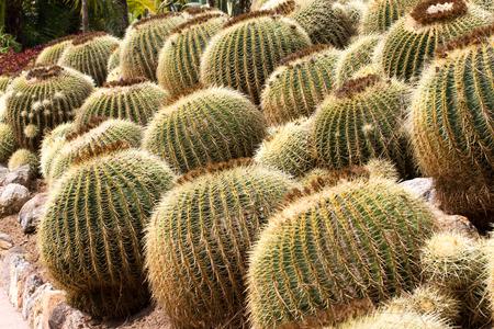 golden ball: Closeup of The Golden ball cactus. Echinocactus. Background of golden ball cactus Stock Photo