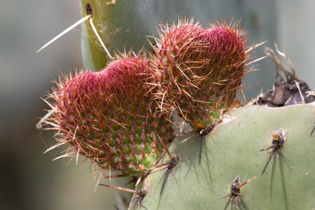 cactus flower: Two fruits of the prickly pear (Opuncia vulgaris) in the form of two hearts. Concept of love Stock Photo