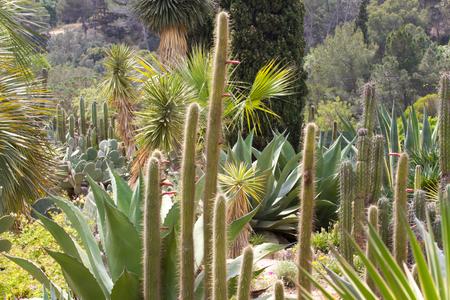 cereus: Cereus background in botanical garden in lloret de Mar, Spain Stock Photo