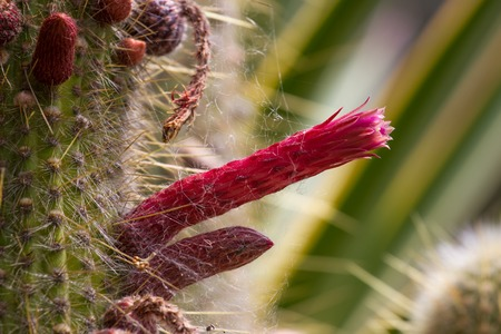 cereus: Cylindrical cactus forms flower in the shape of penis. Cereus cactus Stock Photo