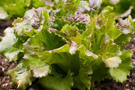 edible leaves: Edible lettuce leaves. Vegetable organic garden. Harvest Stock Photo