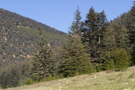 pinaceae: Highland plateau in cedar forest. Mountain way, Turkey