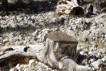 juniper: The trunk of the juniper in the forest. Juniper stump Stock Photo