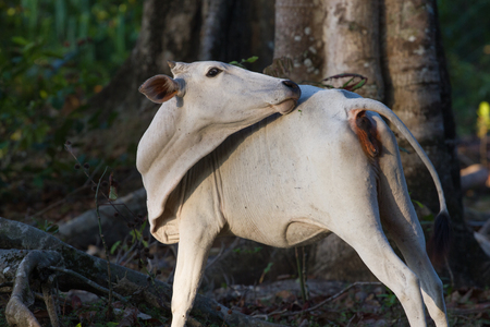 india cow: White little cow in the coconut forest on Little Andaman Island, India Stock Photo