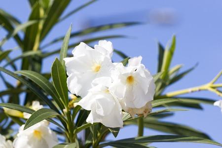 land slide: Blooming oleander flower against the sky. The Mediterranean climate.