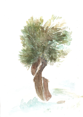 Olive tree drawn by watercolor. Watercolour painting of Italian trees