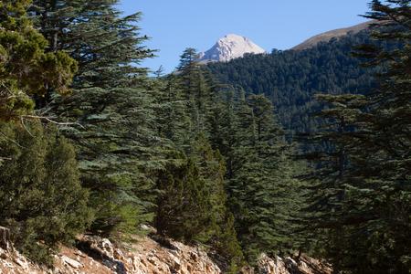a cedar: Piña cedro del Líbano en el bosque en las montañas, Turquía Foto de archivo