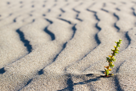 lust for life: Green plant sprouting in the desert in Sahara. Sprout in the desert.