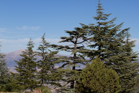 pinaceae: Lebanese cedar pinecone in the forest in the mountains, Turkey