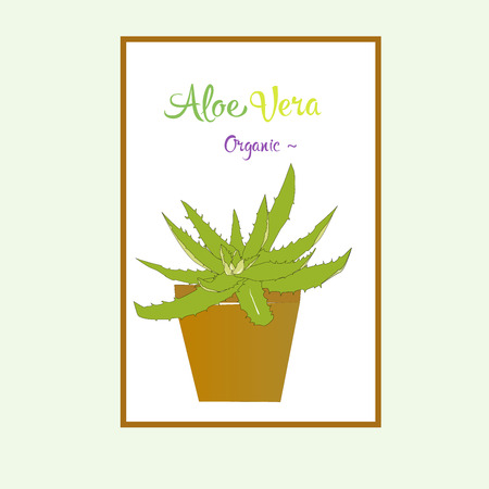 plant pot: Vector aloe vera in pot. Leaves of medicinal aloe vera plant (Aloe vera L.)