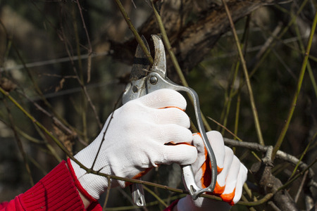 leaf cutter: Pruning in bright red and white gloves