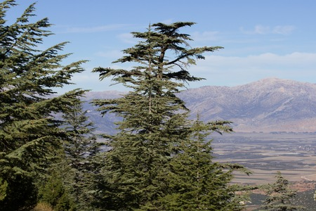 pinaceae: Lebanese cedar tree  the forest in the mountains, Turkey