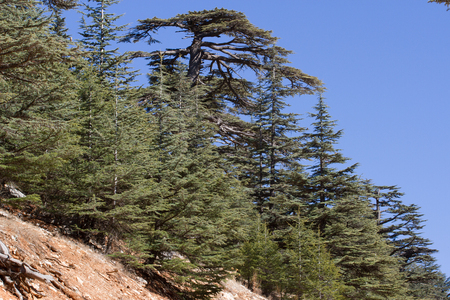 lebanese: Lebanese cedar tree  the forest in the mountains, Turkey