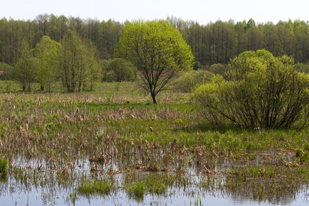 riparian: Panorama small river with reed on northern part of Ukraine, Sumy region. Riparian vegetation Salix sp. Flooded meadow Stock Photo
