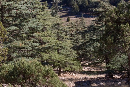 libani: Lebanese cedar tree  the forest in the mountains, Turkey
