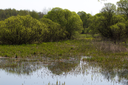 salix: Panorama small river with reed on northern part of Ukraine, Sumy region. Riparian vegetation Salix sp. Flooded meadow Stock Photo