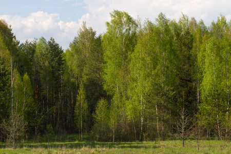 sumy: Birch grove on the border with Belarus and Russia. Located in Ukraine, Sumy region, Polissya Stock Photo