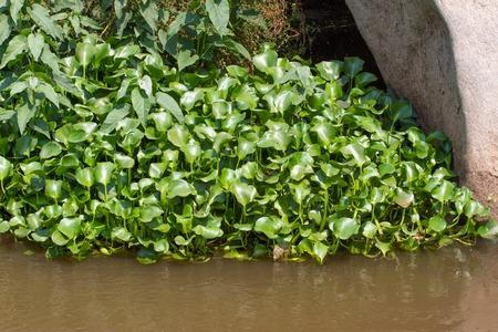 marsilea: Eichornia crassipes in dirty river, India, Andaman islands. Water hyacinth Stock Photo