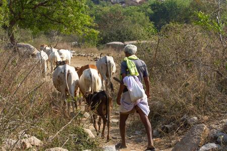 Indian man herding cows, sacred animals in India. Shepherd on Little Andaman islands 新聞圖片