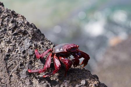 arcuata: Closeup red crub om black volcanic rocks. Canary islands, Tenerife