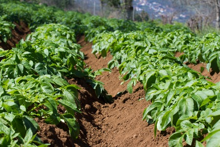 haulm: Field of potato haulm in Tenerife rural place, Canarian domestic product