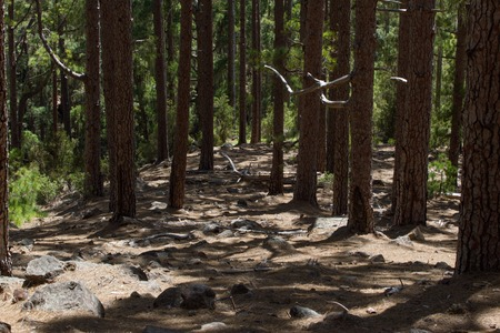 canariensis: Dirt road in pine forest, Tenerife, Pinolere, Canary islands. Pinus canariensis