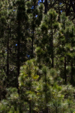canariensis: Forest of Pinus canariensis. Pine trees in Tenerife, road Pinolere to Teide