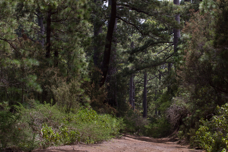 canariensis: Dirt road in pine forest, Tenerife, Pinolere, Canary islands Pinus canariensis
