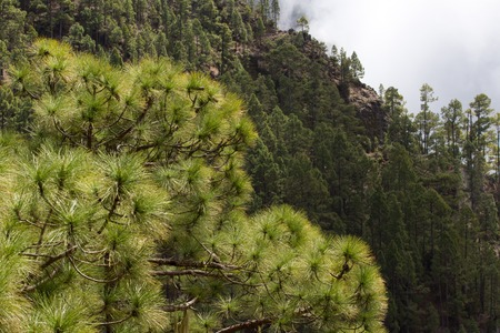 canariensis: Forest of Pinus canariensis. Pine tree in Tenerife, dirt road Pinolere to Teide Stock Photo