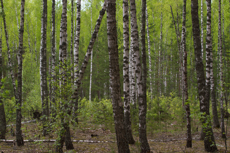 sumy: Birch grove on border with Belarus and Russia. Located in Ukraine, Sumy region, Polissya