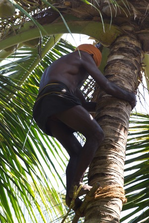 Kovalam, Kerala, India, March 30, 2015: Unidentified man takes coconuts from the tree