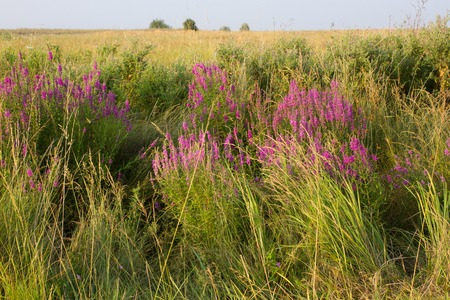 Clusters of loosestrifes in field. Medical grass on meadow. Lythrum salicaria Stock Photo