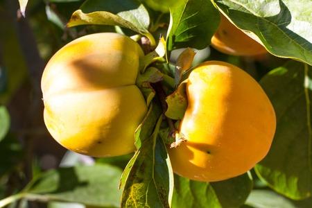 persimmon tree: Couple persimmon fruits in garden. Ripe, orange pair kaki on tree