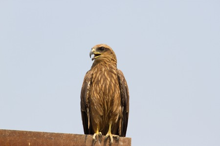 Brown bird of prey sitting roof at construction site in India. Buzzard. Buteo