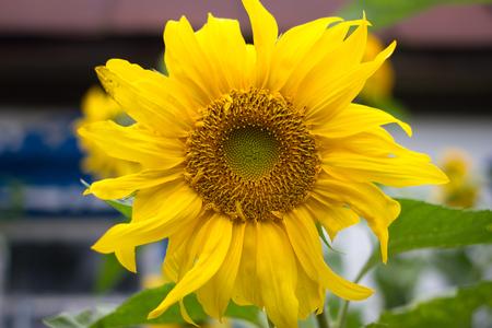 Sunflower igarden design. Yellow flower, countryside bright color, Ukraine