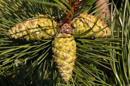 pine branch: Pine branch. Conifer, pinecone tree macro nature Unripe